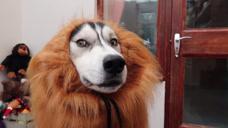 二哈把自己当成了狮子,模仿狮子发出咆哮,下一秒笑岔气了
