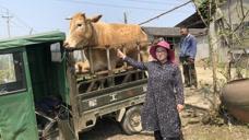 农村老奶奶卖了家里的牛,两头牛卖了16000块钱,大家觉得划算吗?