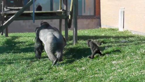 小猩猩太调皮,猩猩爸爸一脚就踢了过去,镜头