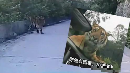 """真的遇到""""攔路虎""""了!琿春一的哥開車偶遇東北虎,對視20分鐘"""