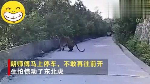 驚險!的哥開車途中偶遇野生東北虎:一人一虎對峙二十分鐘!
