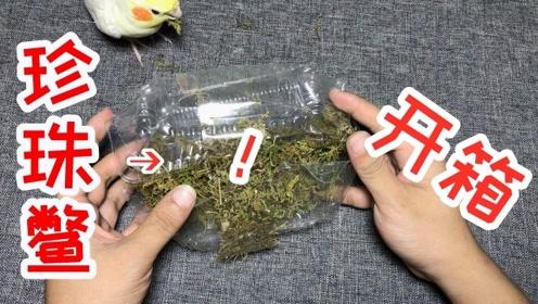 """网购开箱""""珍珠鳖""""1只,虽然看着有点小,但是"""