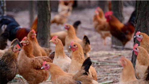 逼疯联合国的世界难题,中国派出几万只鸡就解