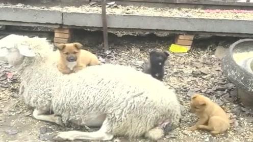 三只小*狗坐在羊身上取暖,这个座驾真好