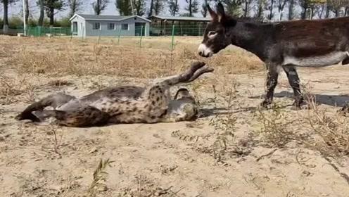 非洲二哥和二驴子,在一起呆的时间久了竟然连