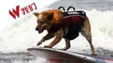 乘风破浪!世界狗狗冲浪锦标赛 小狗们踩上冲浪板争金牌
