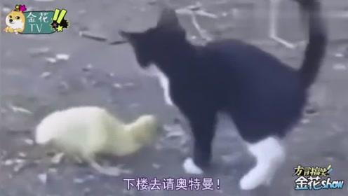 四川方言搞笑动物配音,农村黑猫成精后爱上小