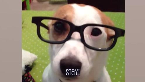 最佳搞笑动物视频,戴上眼镜的汪星人,完美诠