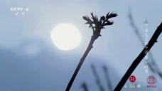 舌尖上的中国:香嫩的香椿芽,吃了它才会真正感觉到春天