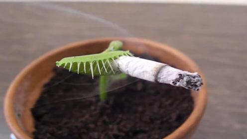 老外恶搞捕蝇草,喂捕蝇草抽烟,3秒后笑到停不
