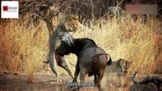 狮子挑衅野牛,成功惹怒了野牛,然而下一秒狮子跑了!