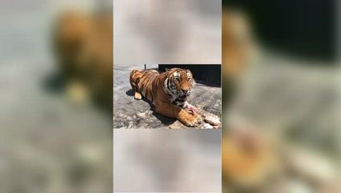 老虎护食到底多凶猛?近距离感受虎啸声,最后