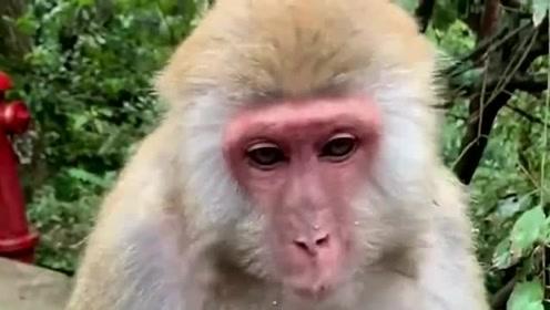 美女:笑一下给你吃好吃,猴子:安排