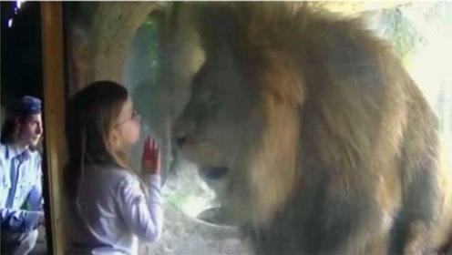 小姑娘隔着玻璃给了狮子一个吻,接下来的一幕,笑翻众人