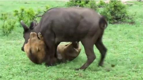 狮子一口将野牛咬住,下一秒正打算吃肉,突然感觉背后有动静!