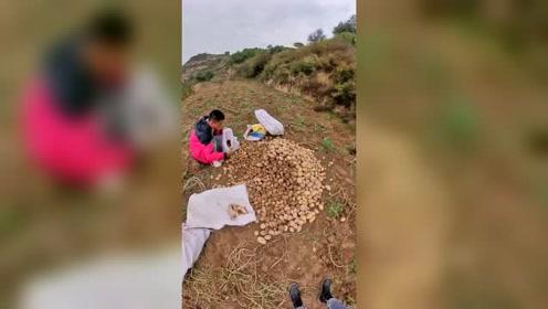 开拖拉机拉土豆,农村生活