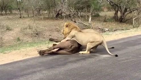 非洲大草原实拍:雄狮猎杀野牛的视频集锦