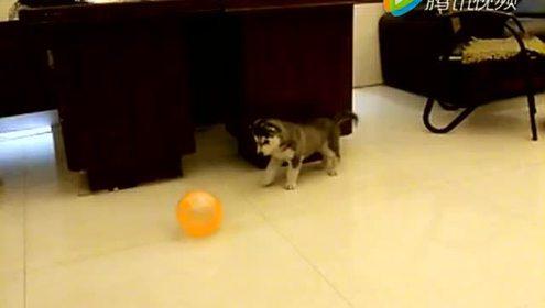 哈士奇玩气球 太可爱了