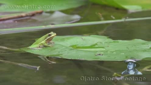 实拍雨中的青蛙