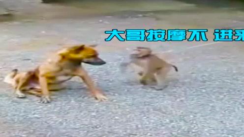 搞笑动物配音:猩猩会抽烟,这姿势一看就是个