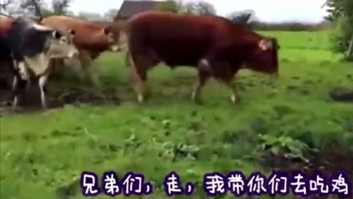 搞笑动物:四川话配音视频,大公鸡挑战大黄牛