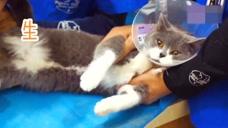 猫咪被迫做了绝育,术后委屈的快哭了,主人看了都心疼