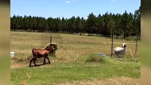 搞笑动物:见过这么悠闲就翻过栅栏的羊吗?太