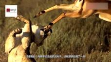 羚羊被狮子偷袭,下一秒羚羊口中跳跃,给了狮子一脚