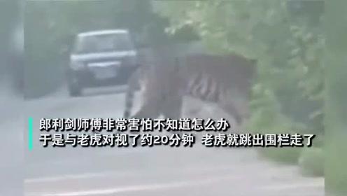 攔路虎!的哥開車送乘客偶遇東北虎,對視20分鐘不敢動