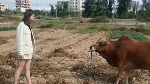 美女我有那么吓人吗牛惹不起还躲不起吗