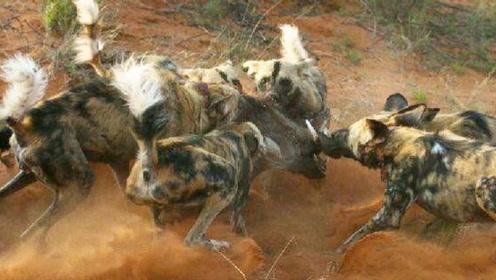 疣猪和野狗群对峙,疣猪气场强大吓住野狗,最终等来了救星!