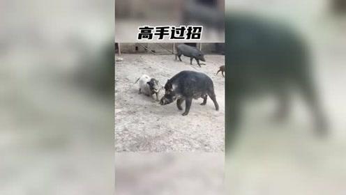 招招致命#黑猪#沙雕宠物#搞笑动物