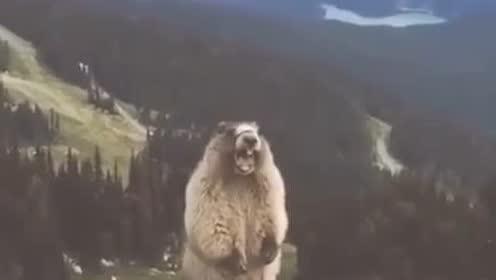 爆笑动物:这旱獭太搞笑了,配音没毛病!