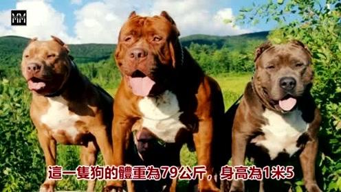 世界上最大的十种犬排名