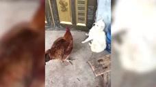 怂狗!被一只鸡吓成这样,主人已被气疯