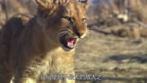 野生萌宠:当小狮子们遇到几十只鬣狗时,它们