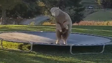 绵羊自己偷玩蹦床,姿势十分魔性,这是瞬间二哈附体了吧