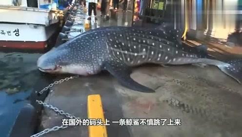 大自然:鲸鲨不慎跳上码头:都别动,我自己下