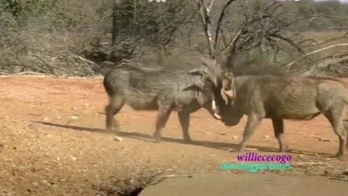 动物世界 野猪搞笑斗争 小学生打架吧