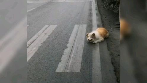 马路上一条狗狗看见车就追过去