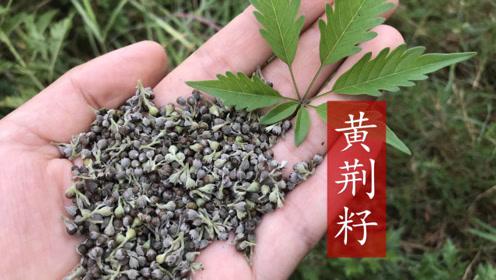 山上常见的一种草籽,生活中用处多,看视频认识一下吧