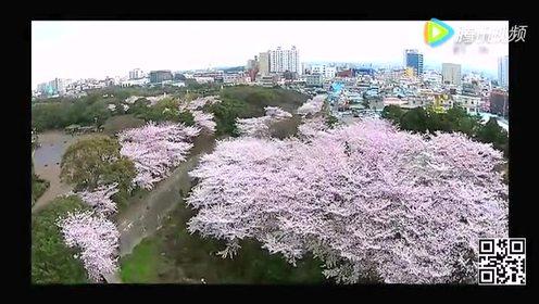 济州岛樱花节赏 分分钟迷瞎你的双眼