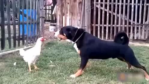 动物搞笑视频,让我先笑一会儿