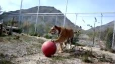 老虎也爱玩皮球,不管多大的猫,都是一个性格