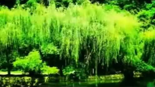 轻音乐《杨柳》非常优美的旋律,真的很美!