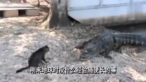 猫又和鳄鱼杠上了,这配音真是太有意思了