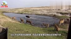 狮子叼走小水牛,水牛爸着急赶过来,下一秒狮子就悲剧了!