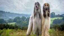 这种狗是国家明令禁止饲养的,它的凶残就连藏獒也要让着它