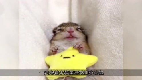 搞笑动物集锦:抱着小海星睡着的仓鼠,你家有