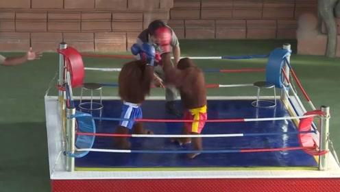 动物园里的猴子,上演一场拳击擂台赛,百分百